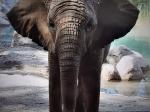 ELEPHANT PAINTING BY ZURI 11X14